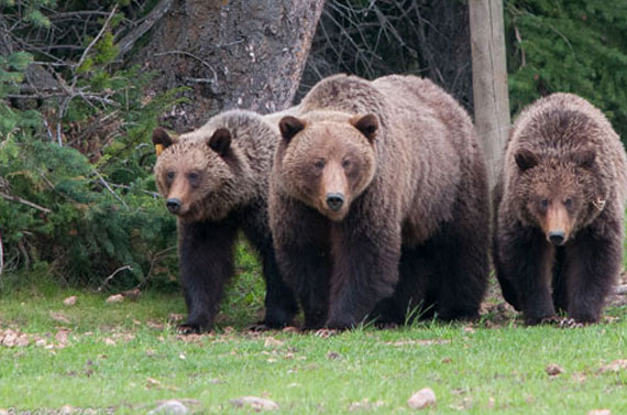 Jasper Alberta Wildlife - Grizzly Bears